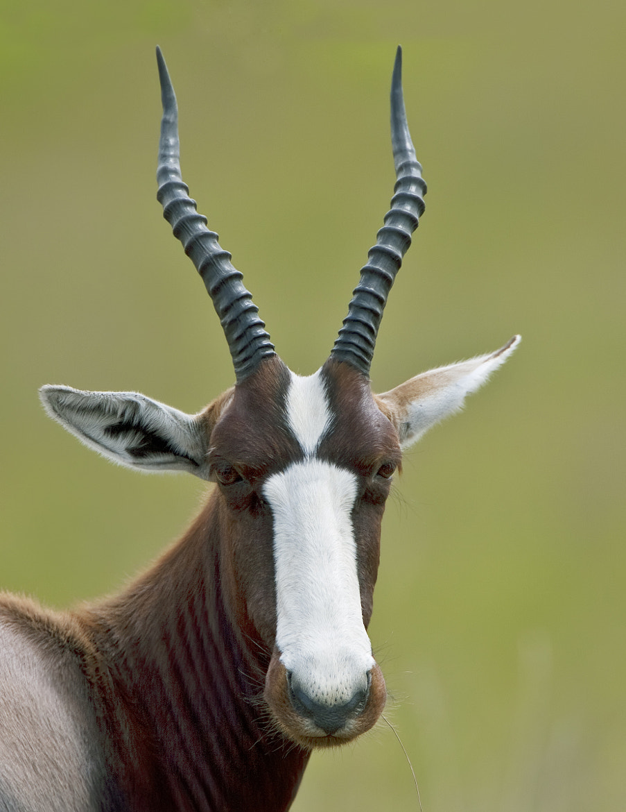 Photograph The Rarest Antelope in Africa by Ken Watkins on 500px