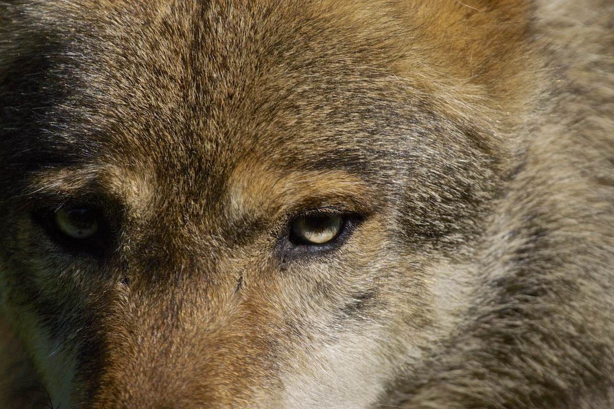 Photograph the wolf - king of all.  by Matthias Plattner on 500px