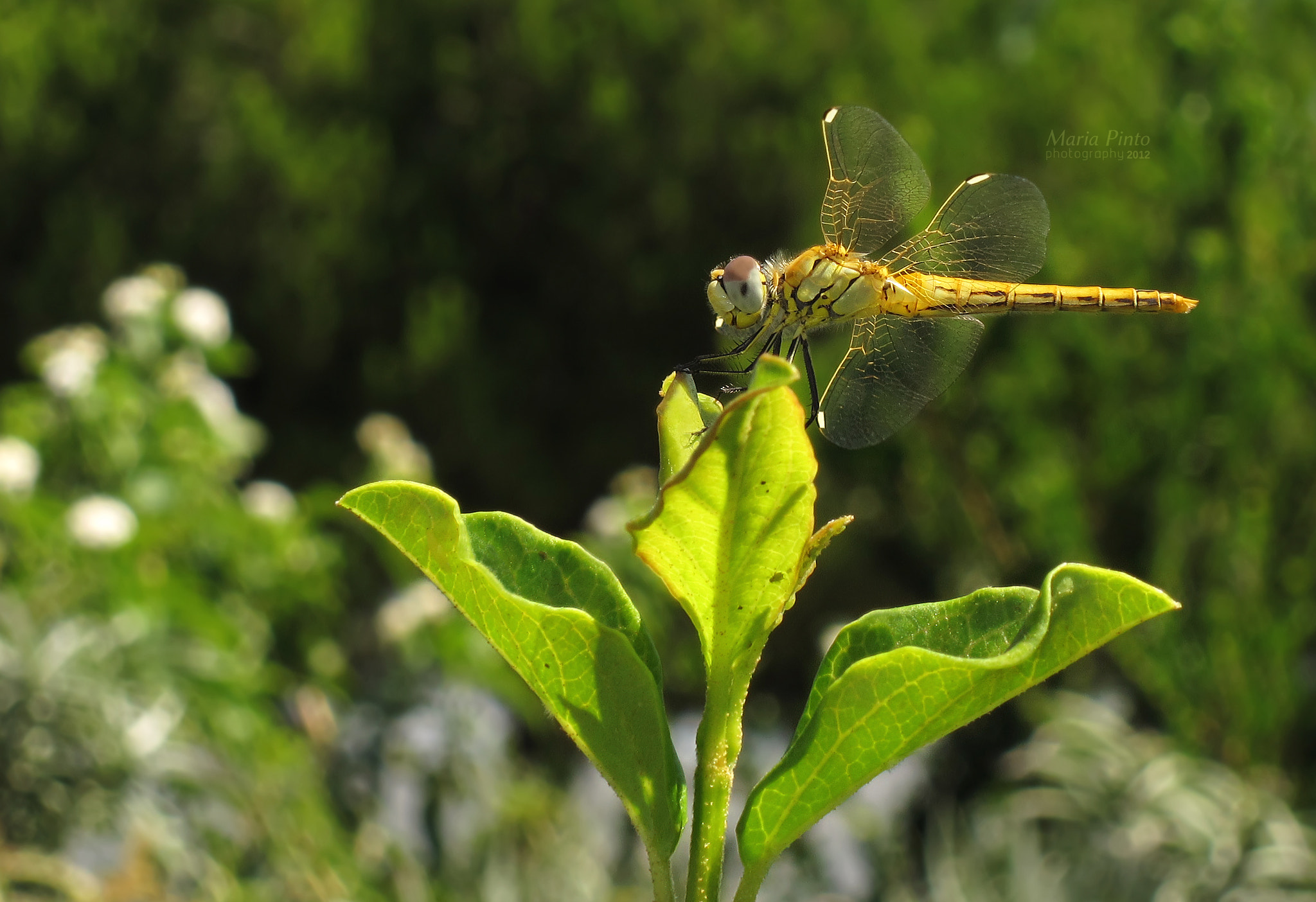 Photograph Red-veined Darter III by Maria Pinto on 500px