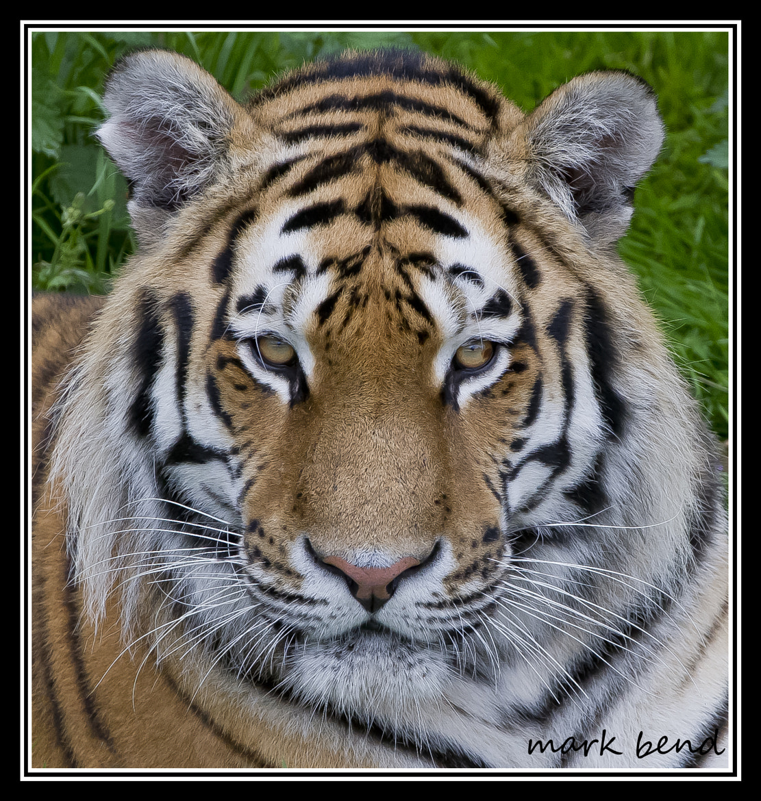 Photograph tiger headshot by Mark Bend on 500px