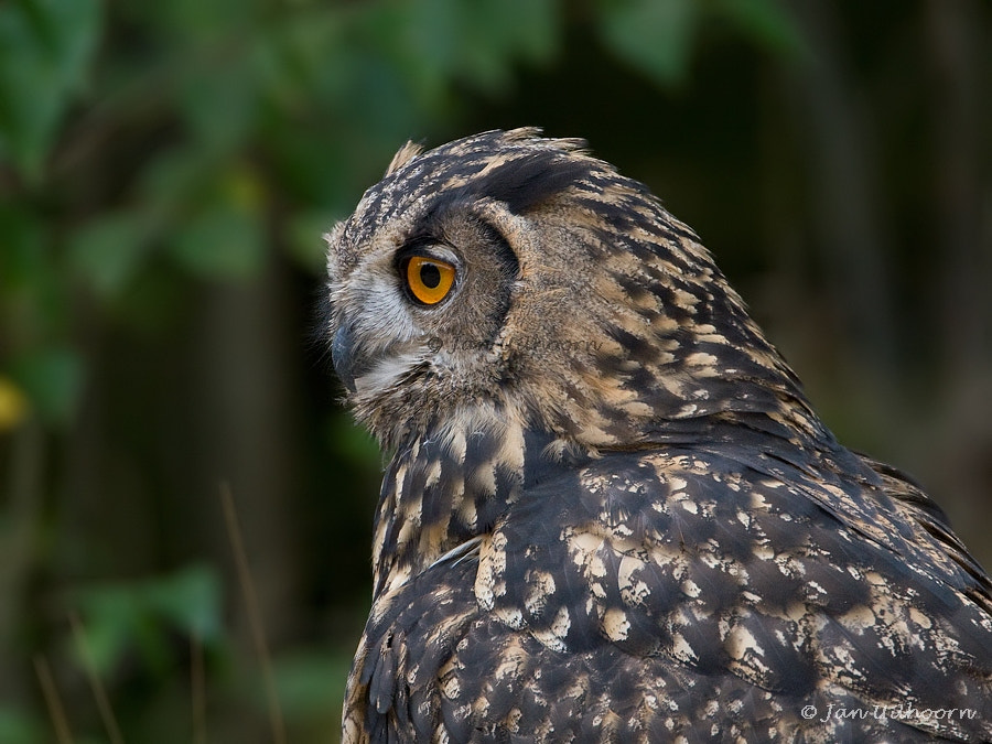 Photograph Eagle Owl (juvenile) by Jan Uilhoorn on 500px