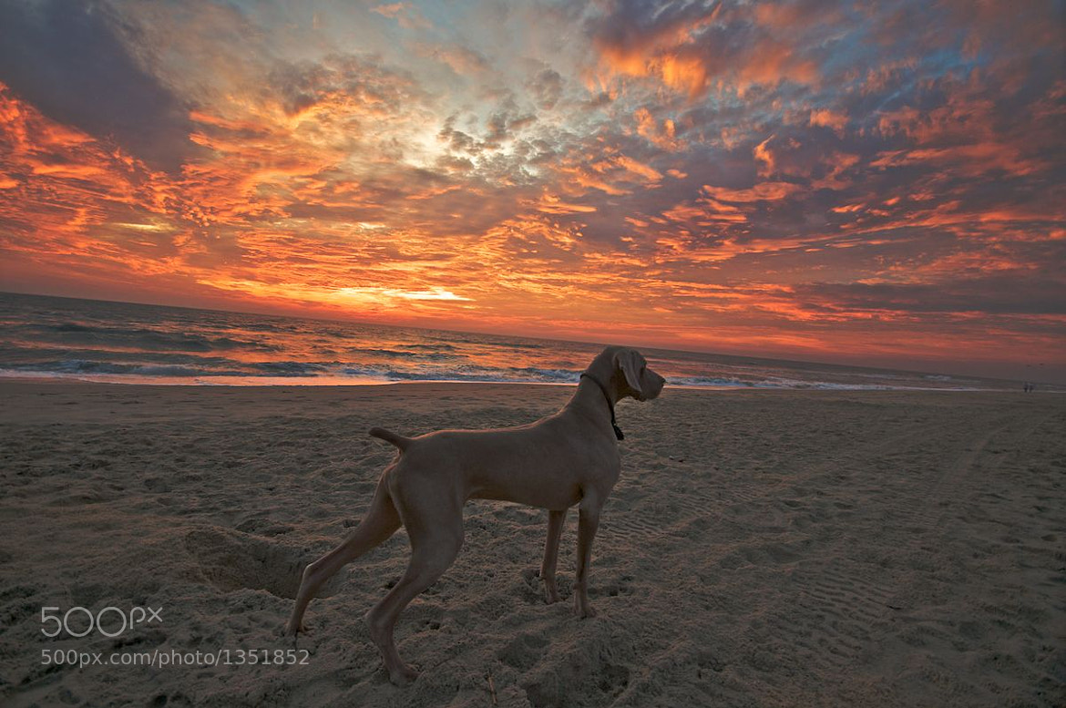 Photograph Sunrise on weimaraner by Brad Crittenden on 500px