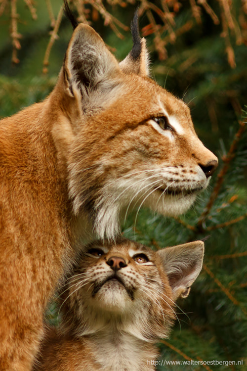 Photograph Lynx (C) by Walter Soestbergen on 500px