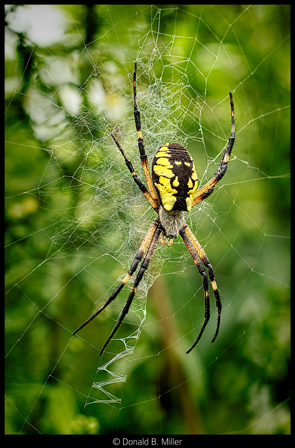 Photograph Orb Weaver by Donald Miller on 500px