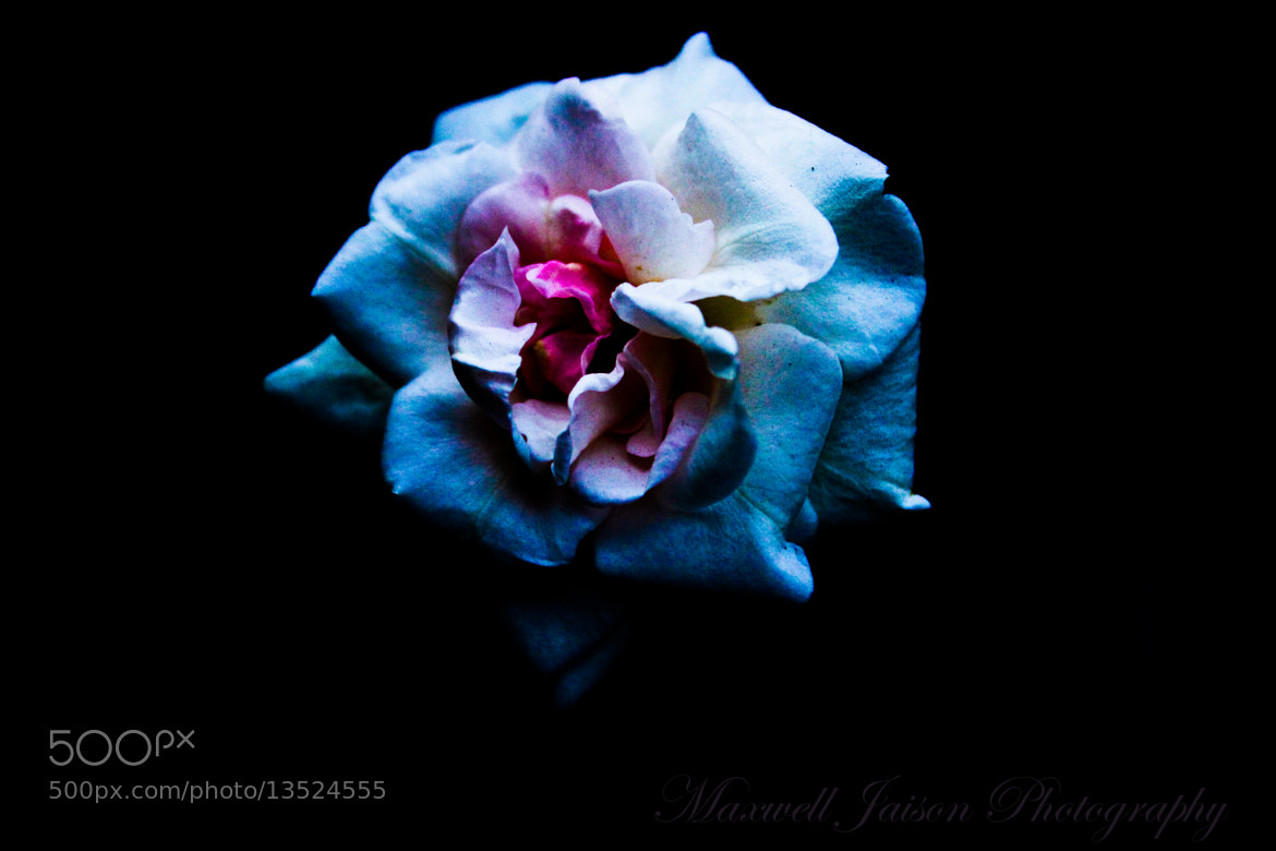 Photograph Rose by Maxwell Nelson on 500px