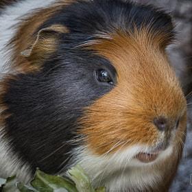 Meerschweinchen | guinea pig