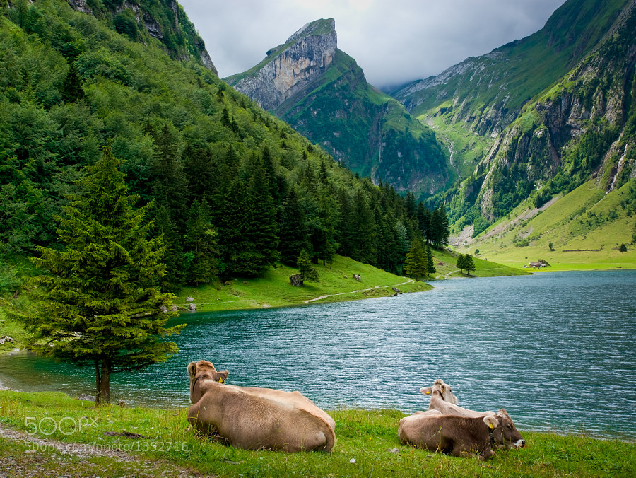Cows lying next to the Seealpsee in Switzerland
