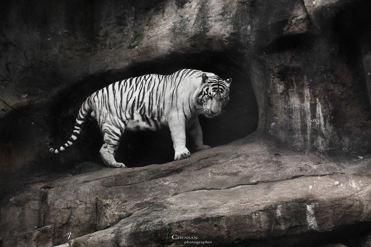 Photograph white tiger.by Chensan  by  Chensan on 500px