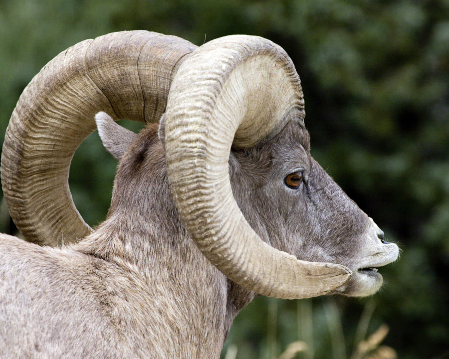 Famous Bighorn Ram (with link to video)