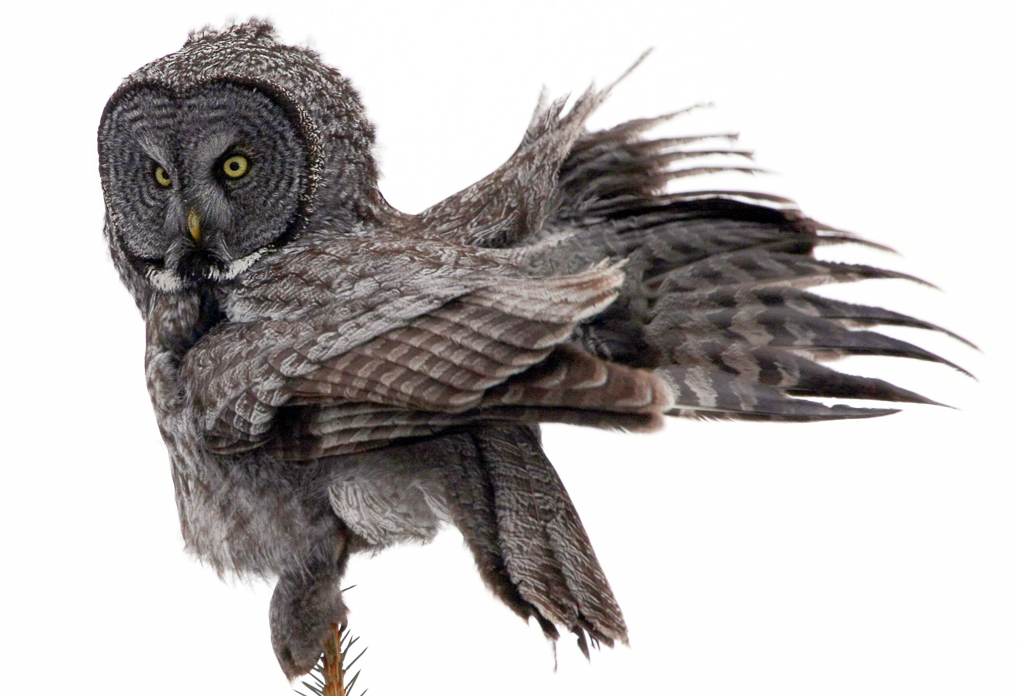 Photograph Great Grey Owl Fluffing by A.M. Ruttle on 500px