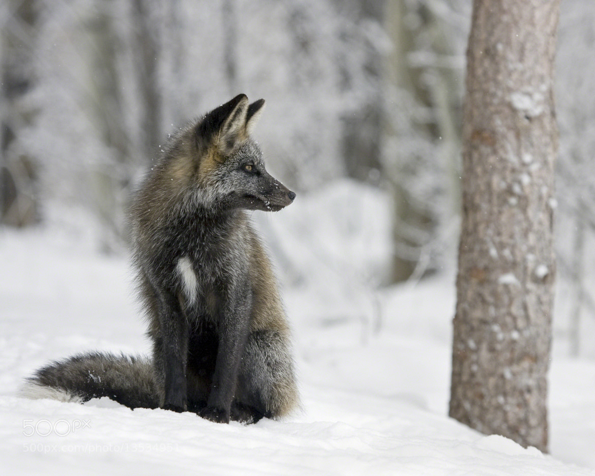 Photograph Cross Fox by A.M. Ruttle on 500px