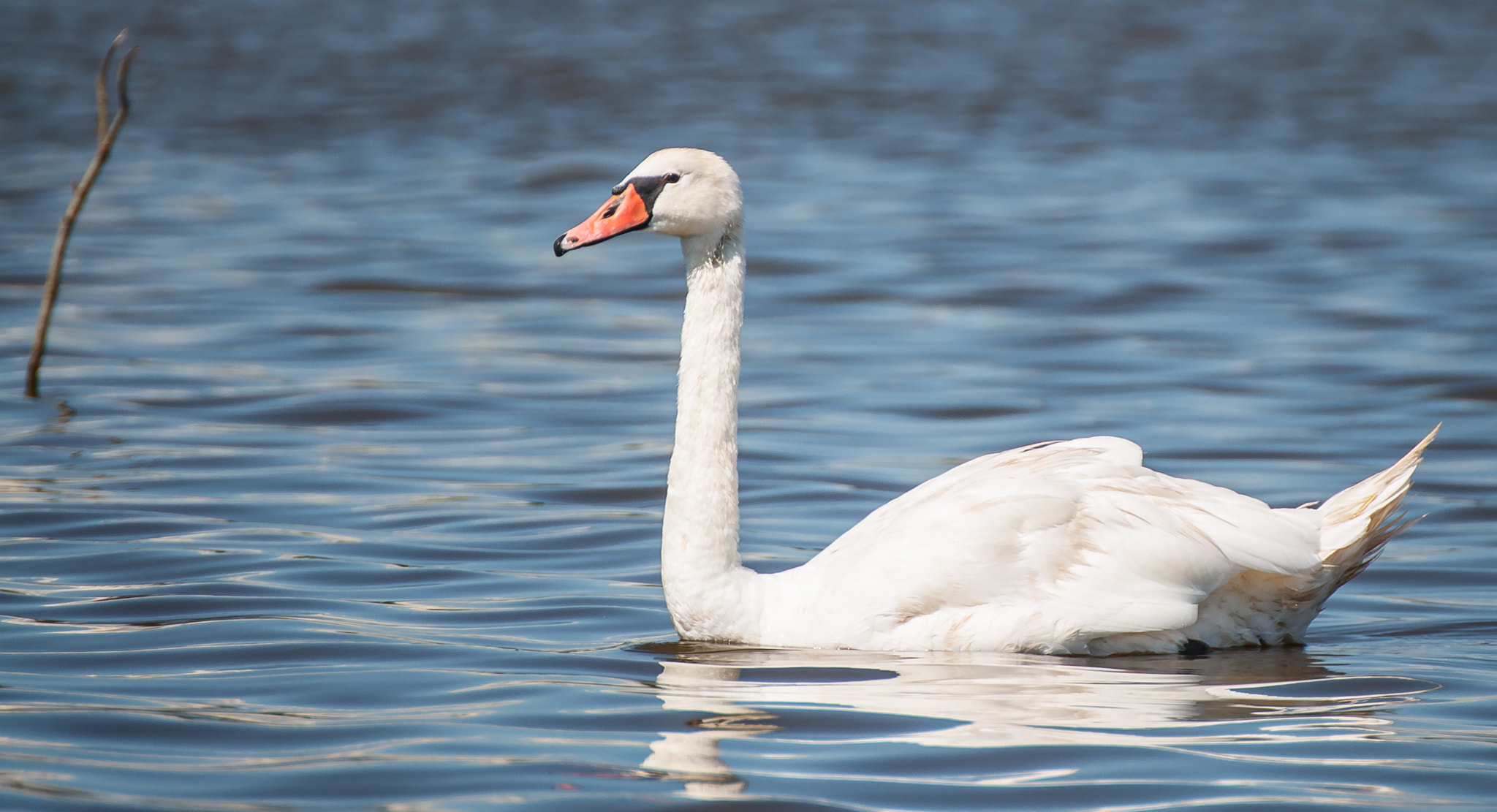 Photograph Mute Swan by Zach  on 500px