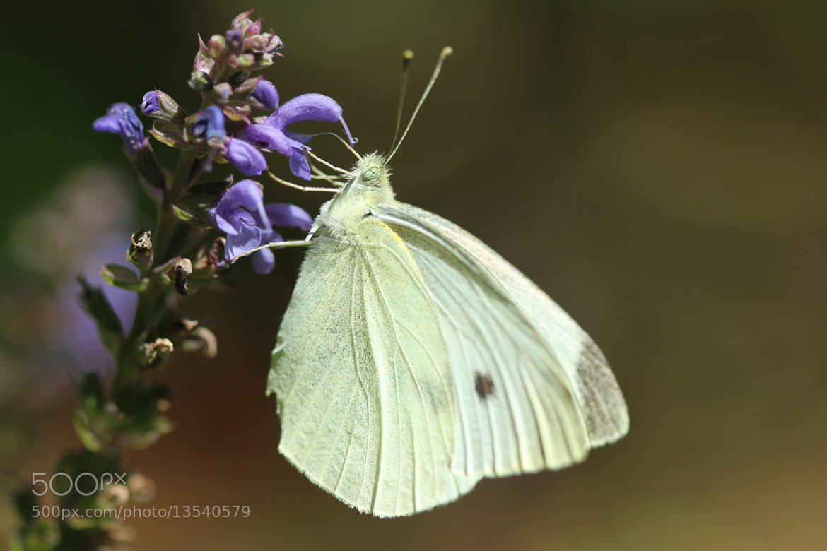Photograph Cabbage White And Salvia by Kenneth  Maurer on 500px