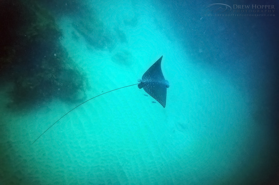 Photograph Spotted Eagle Ray by Drew Hopper on 500px