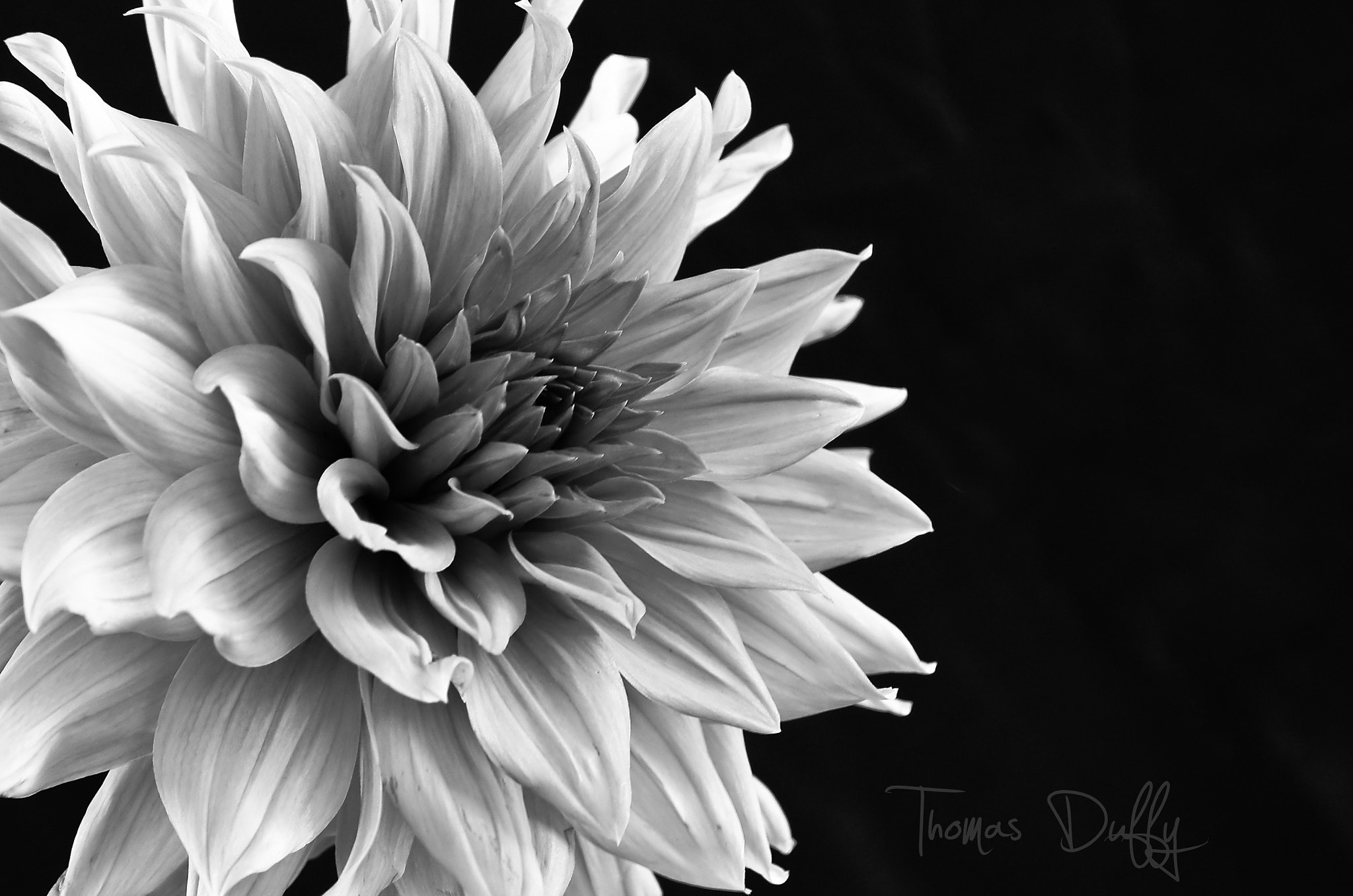 Photograph Dahlia in Black and White! by Thomas Duffy on 500px