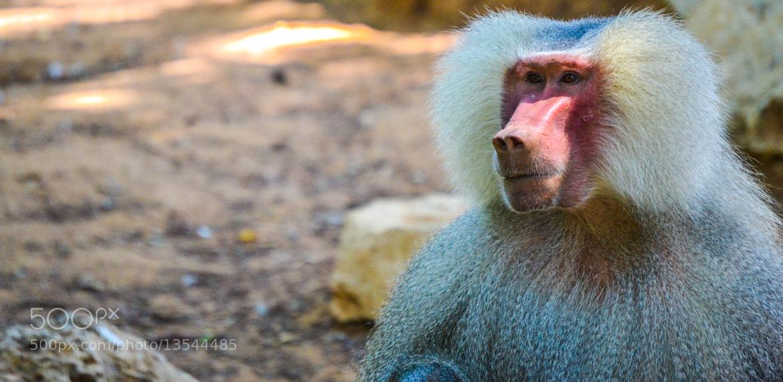 Photograph Babon by Yoel Zano on 500px