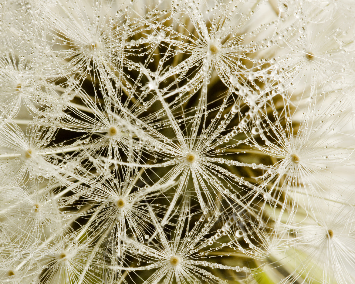 Photograph Dandelion Droplets by Susie Dwyer on 500px