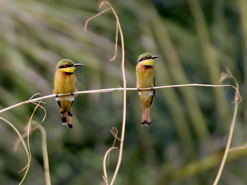 Photograph Two Little Bee Eaters 2 by Aat Bender on 500px