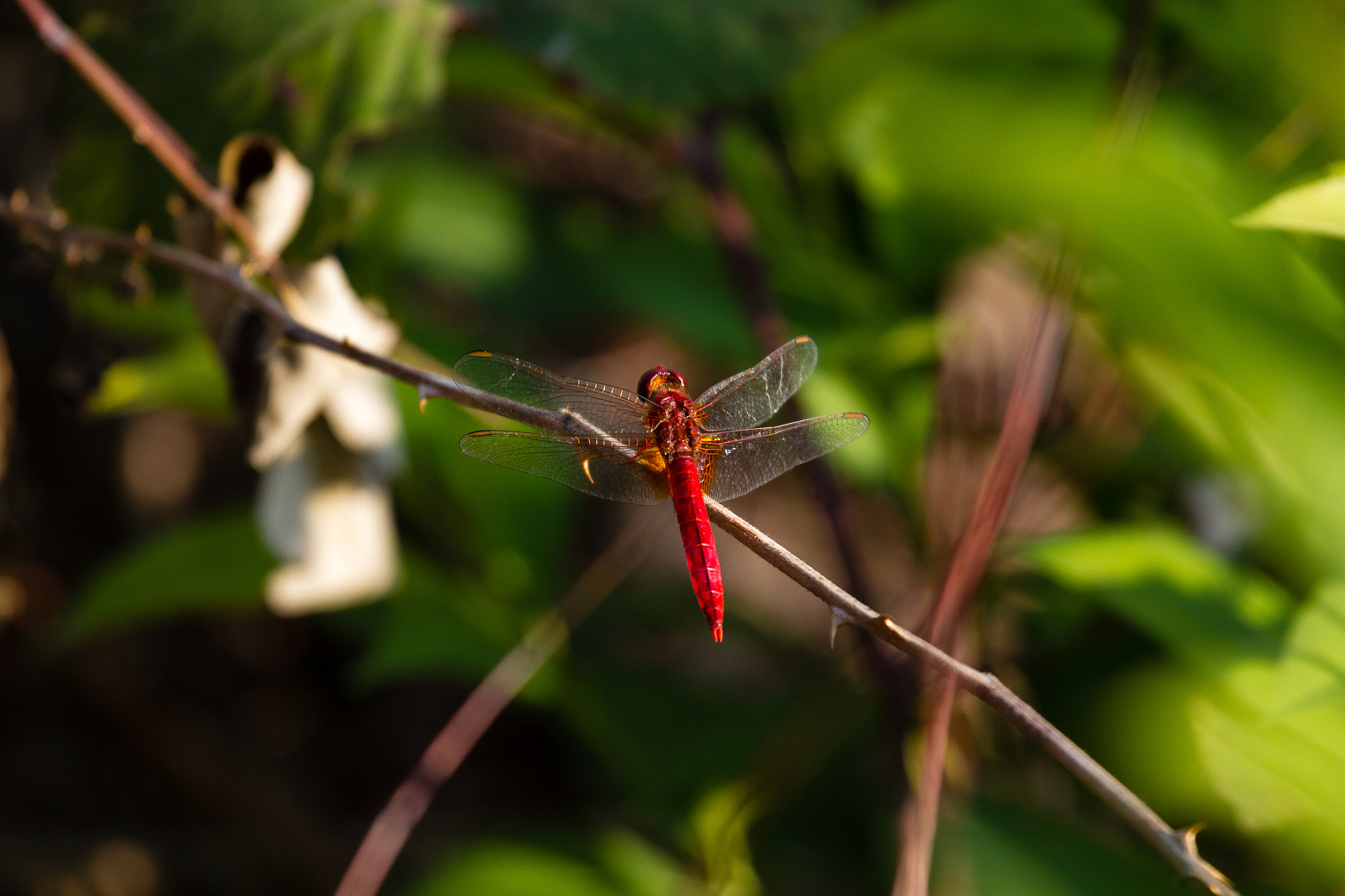 Photograph Red Dragonfly by Leo Ferrarese on 500px