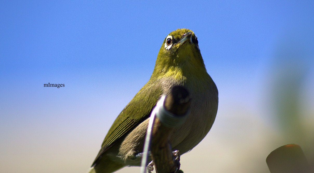 Photograph Cape White eye by Marc  Francis on 500px