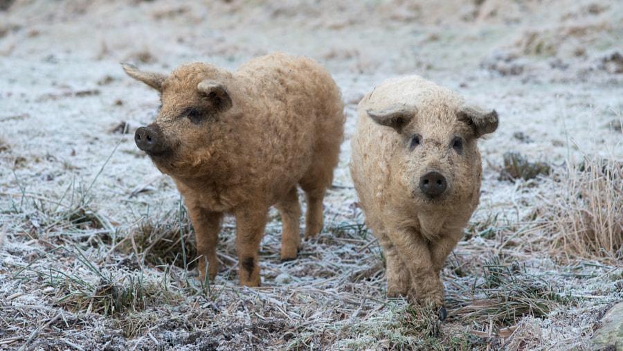 Sheep-pig by Elisabeth Eidjord on 500px.com