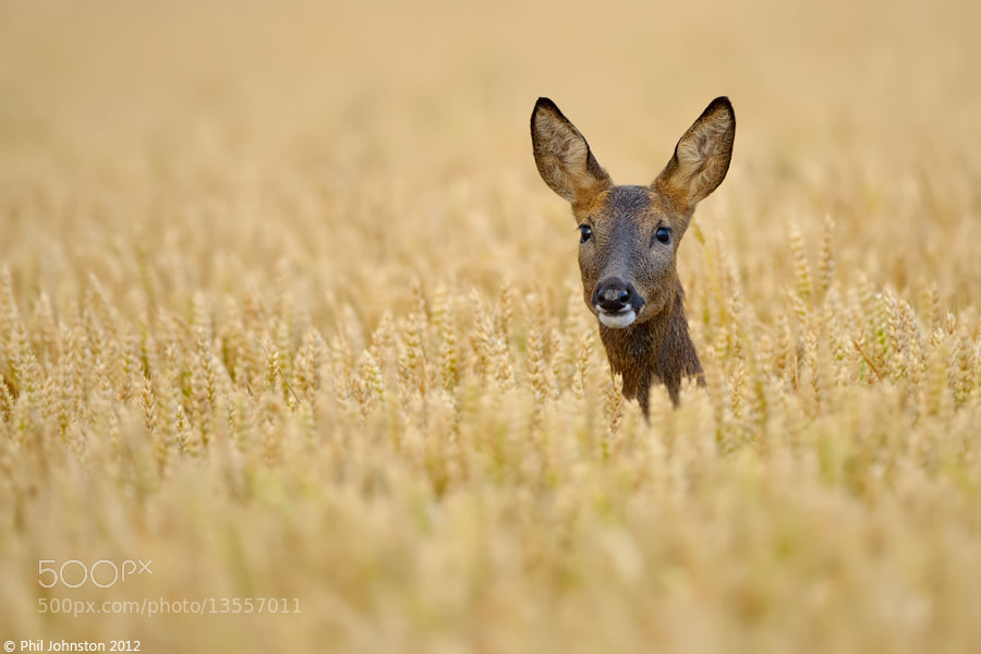 Photograph Roe Deer by Phil Johnston on 500px