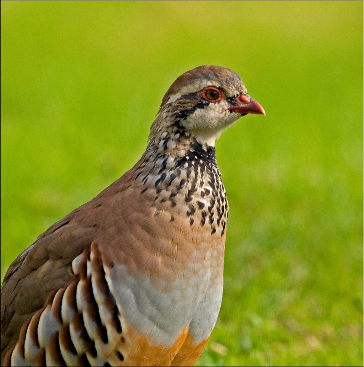 Photograph Portrait re-legged Partridge by Ina Turner on 500px