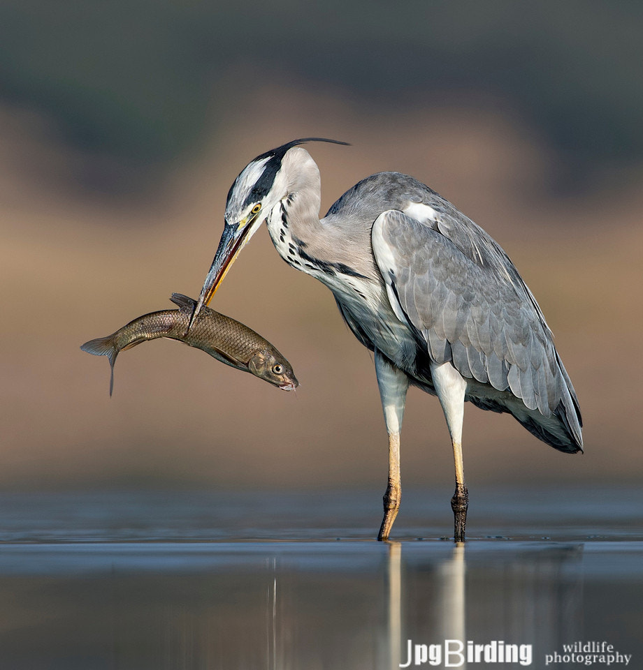 Photograph Grey Heron ... fishing by jose pesquero on 500px