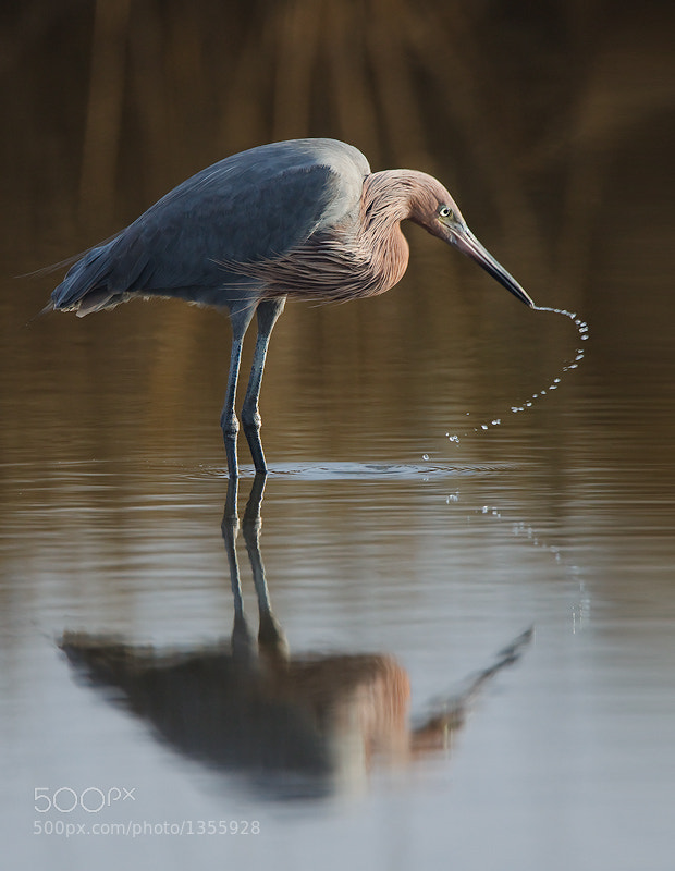 Photograph Reddish Egret by David Chauvin on 500px