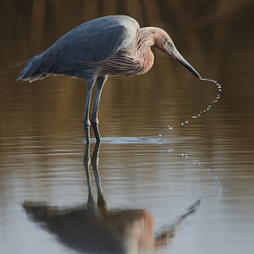 Reddish Egret by David Chauvin (davidchauvin)) on 500px.com