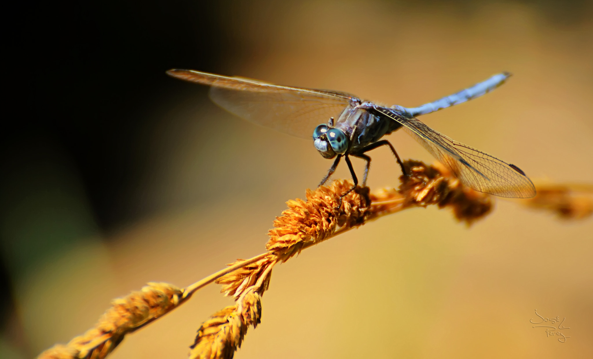 Photograph Dragonfly Blue by Jose Luis Perez on 500px