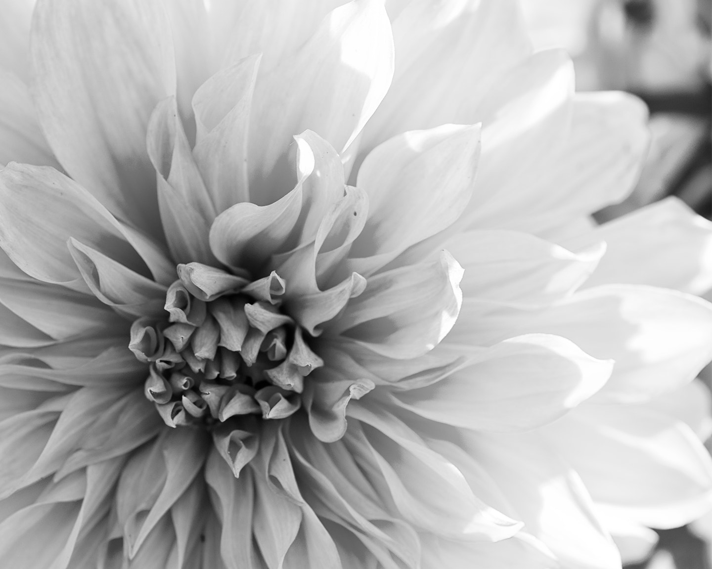 Photograph The Dahlia by shutterboy on 500px