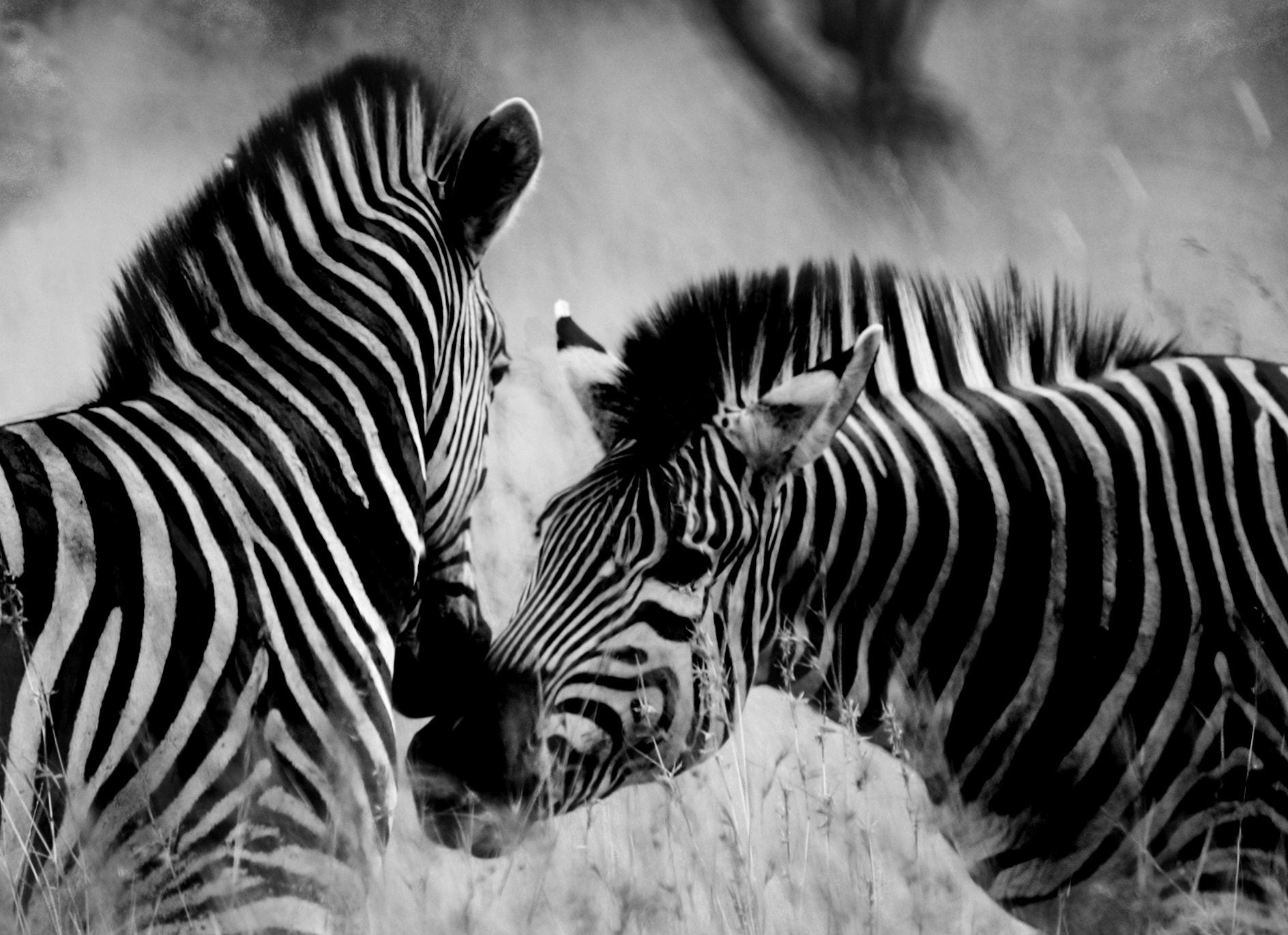 Photograph Wild zebras by Marta Machej on 500px