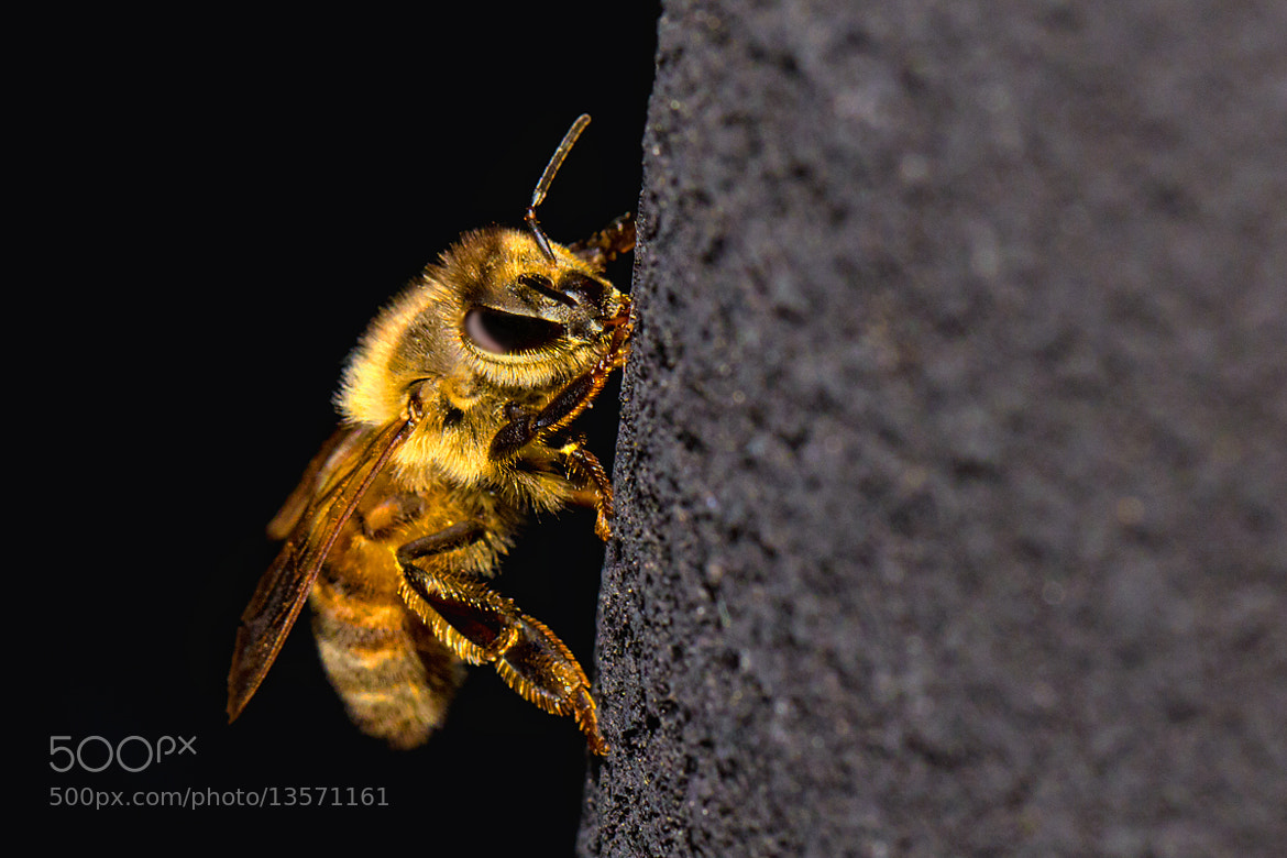 Photograph Bee by Kayman Studio on 500px