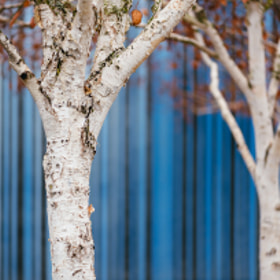 A row of birch trees in 'Garden Play' at Cornerstone Sonoma, Sonoma, CA
