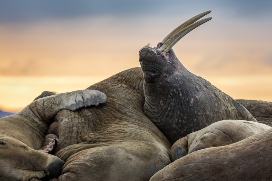 Walrus Pile by Josh Anon on 500px.com