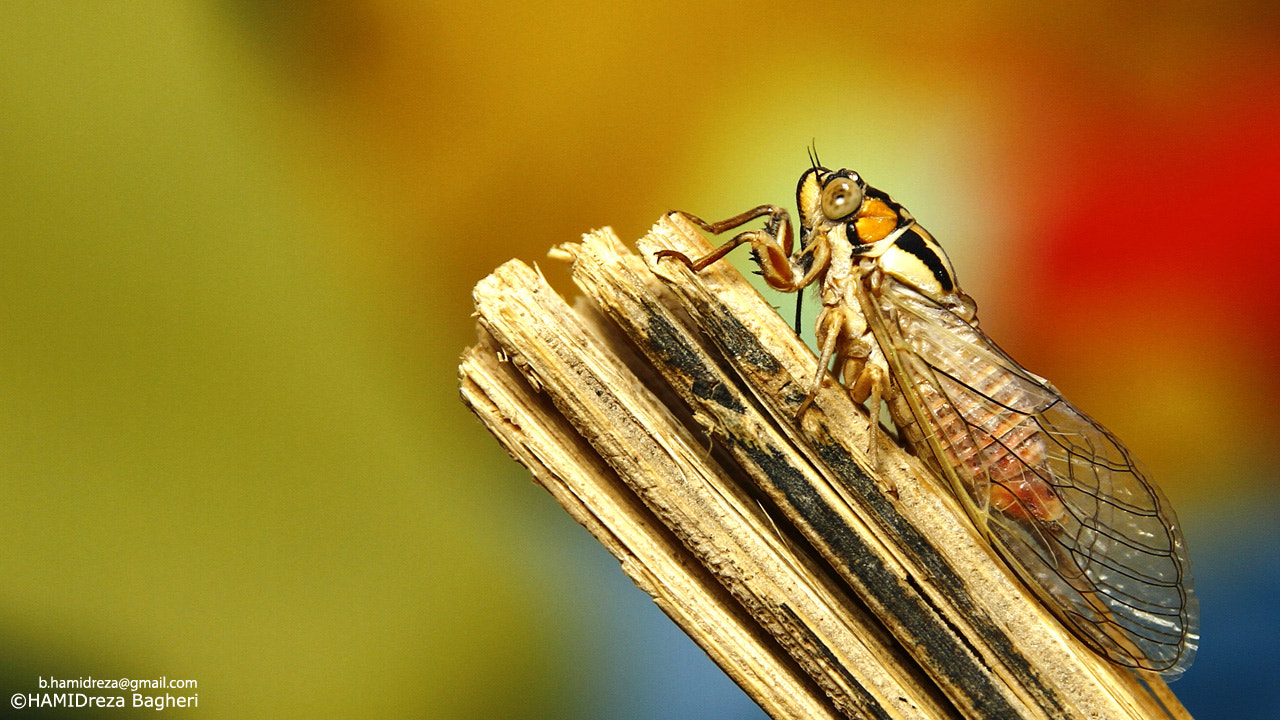Photograph Cicada by HAMIDreza Bagheri on 500px