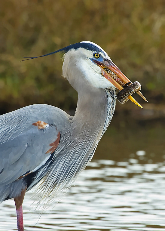 Photograph Great blue heron with snake by Joe Iocco on 500px