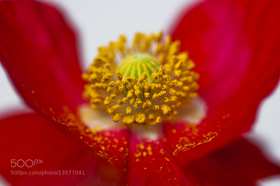 Photograph Poppy by Andreas Hensel on 500px