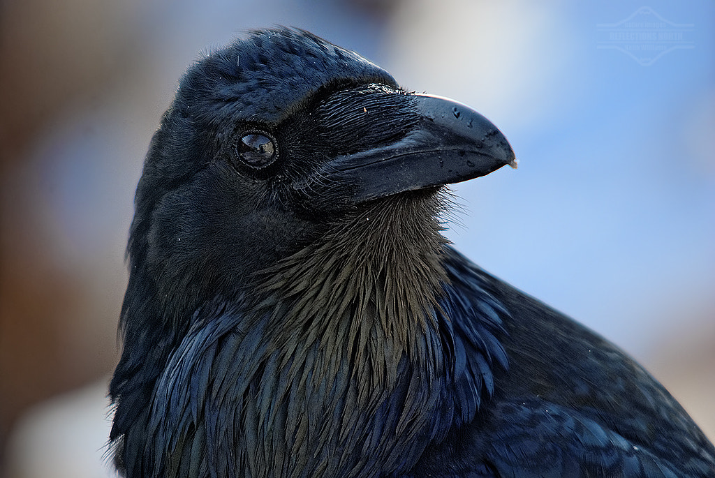 Photograph A Curious Raven by Keith Williams on 500px