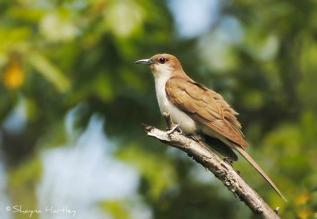 Photograph Black-billed Cuckoo by Shayna Hartley on 500px