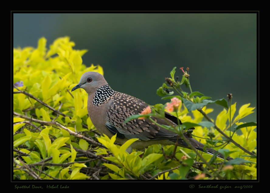 Photograph Spotted Dove, Bangalore by Santhosh Gujar on 500px