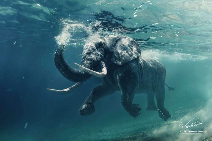 Underwater Elephant by Vitaliy Sokol on 500px.com