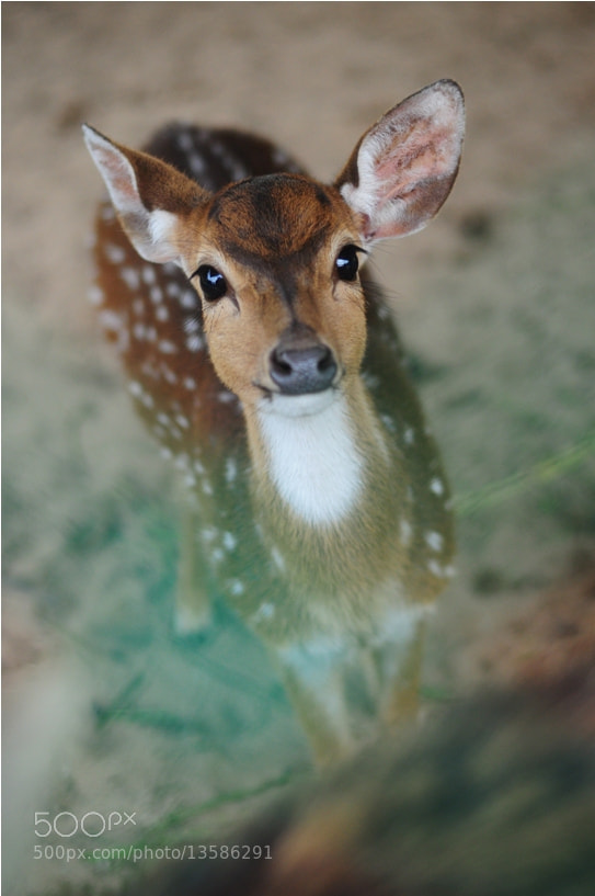 Photograph Bambi by Sham Jolimie on 500px