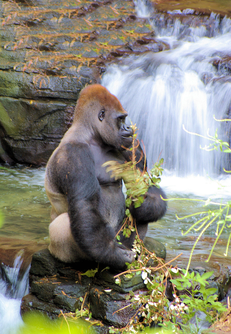Photograph Gorilla by Ronald Diaz on 500px