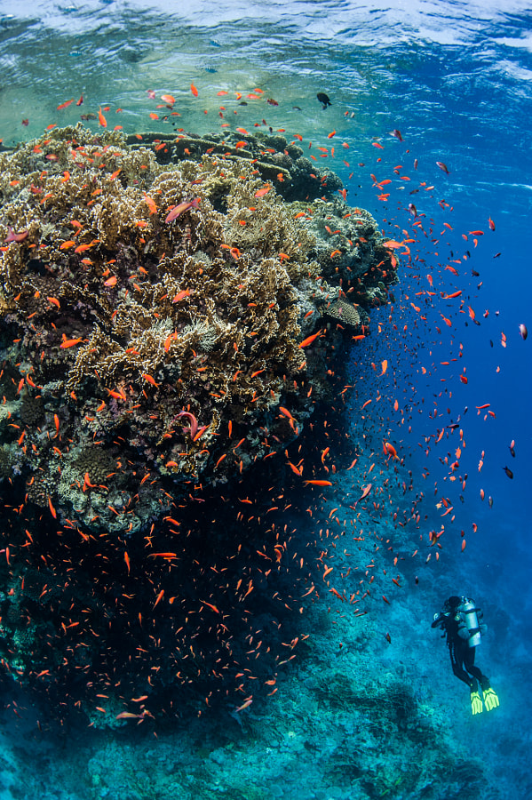 Coral Reef and a Diver