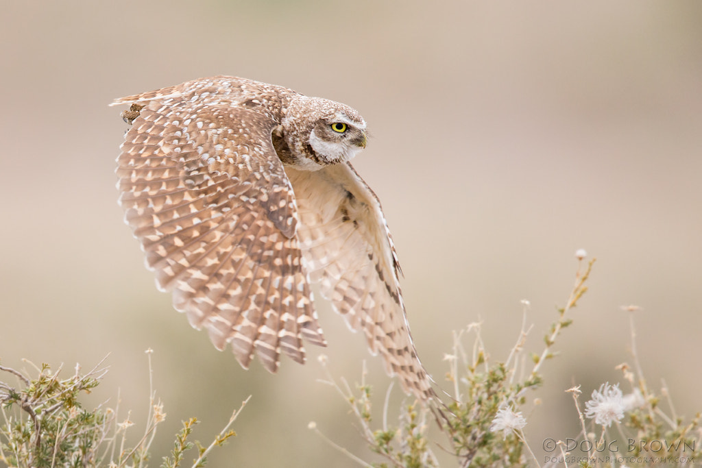 Photograph Burrowing Owl by Doug Brown on 500px