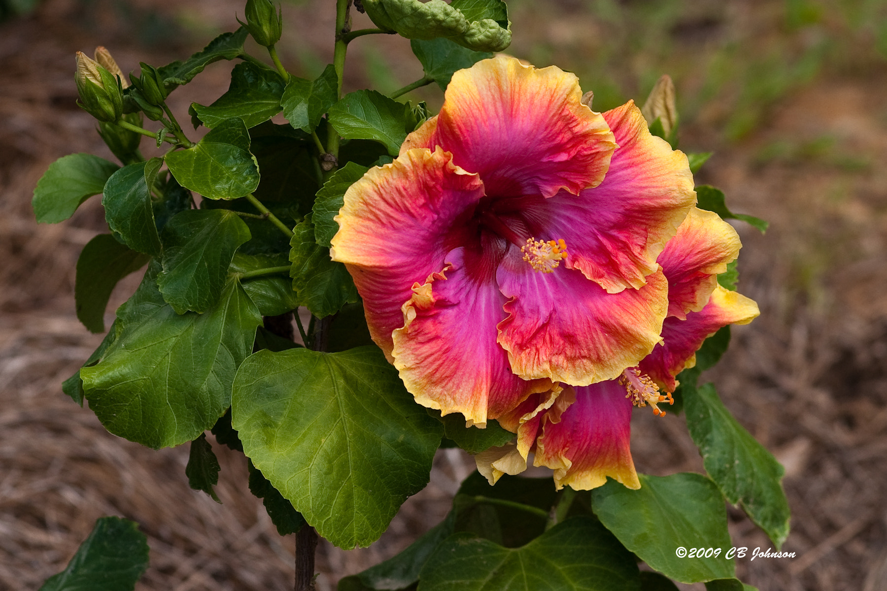 Photograph Hibiscus by Chester Johnson on 500px
