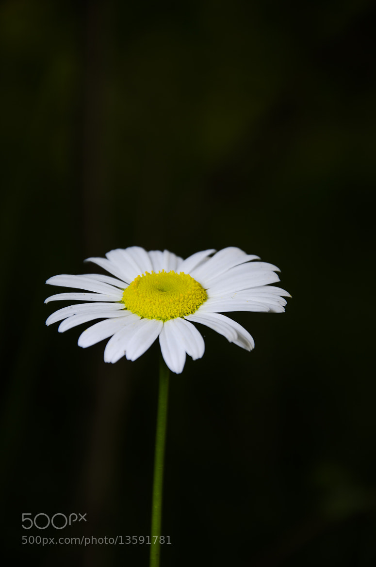 Photograph Daisy by Rusty Parkhurst on 500px