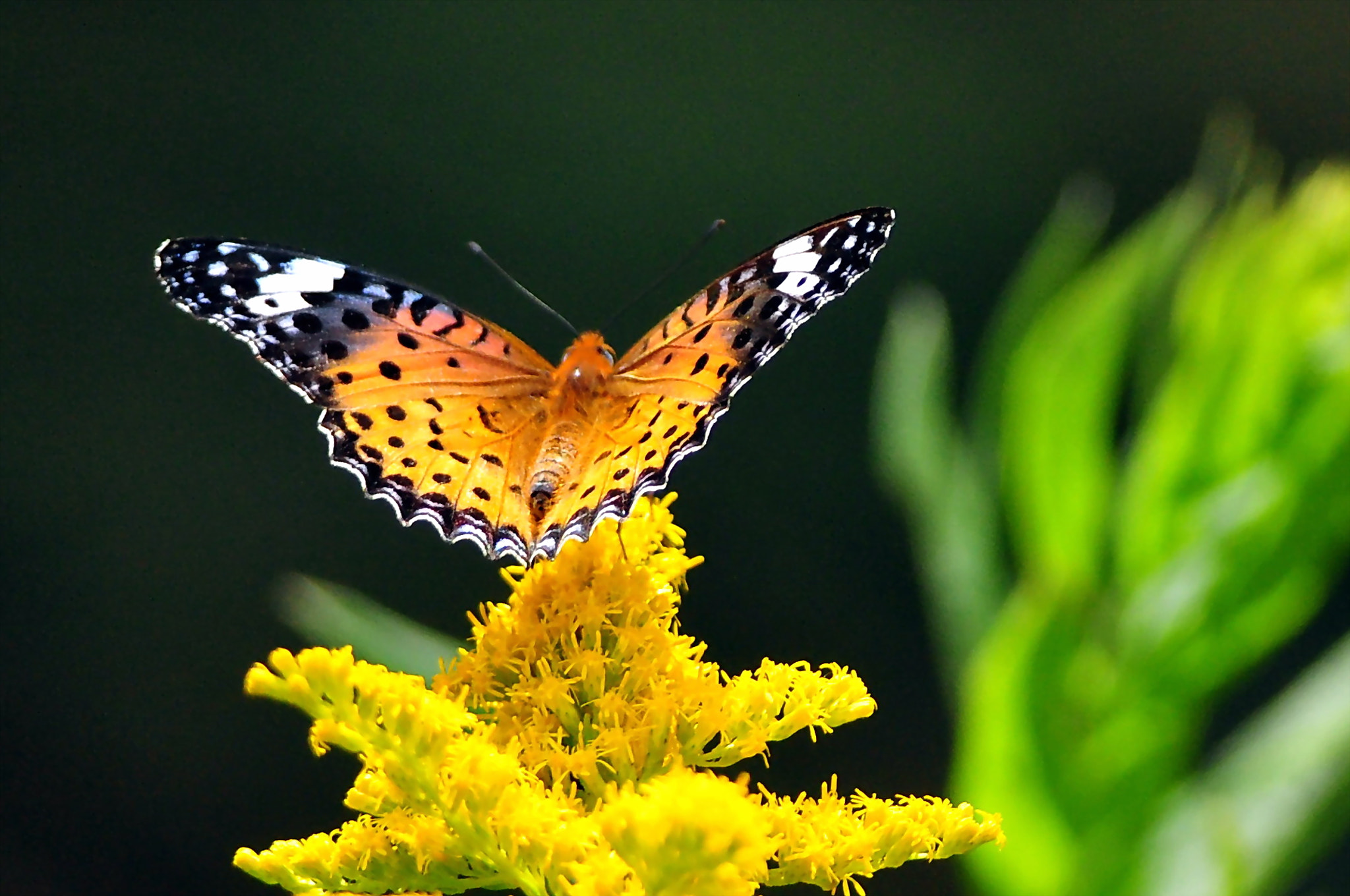 Photograph Indian Fritillary take off by KEN OHSAWA on 500px